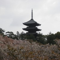 仁和寺ー御室桜